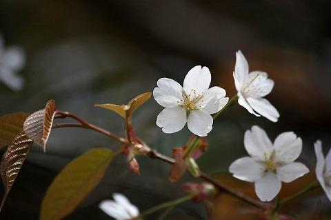山桜IMG_0869-1.jpg