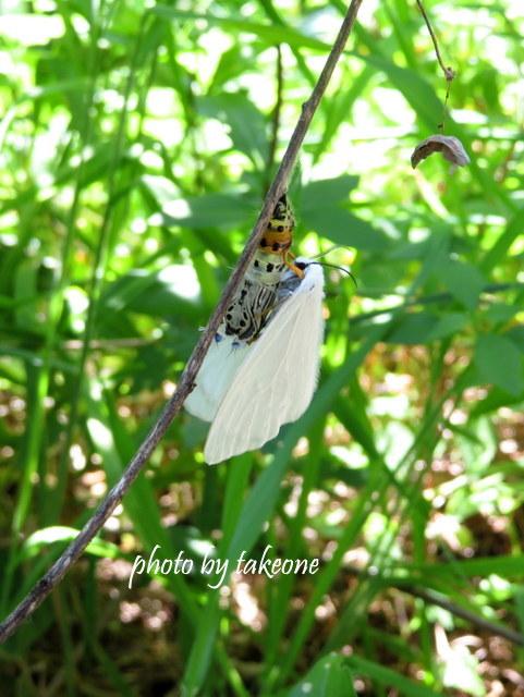 キアシドクガ(黄脚毒蛾)