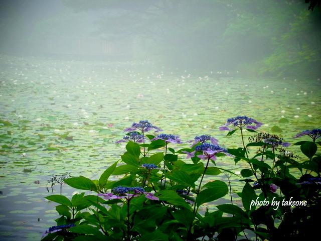 紫陽花と睡蓮